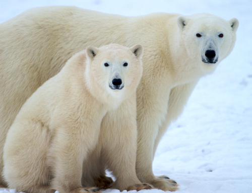 Polar Bears With Natural Habitat Adventures